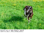 Купить «Коза пасётся на весеннем зелёном лугу с одуванчиками в ясный солнечный день. Подмосковье.», фото № 30502207, снято 16 мая 2018 г. (c) Устенко Владимир Александрович / Фотобанк Лори