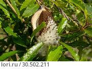 Купить «Семена ваточника (asclepias)», фото № 30502211, снято 12 марта 2019 г. (c) Ирина Яровая / Фотобанк Лори