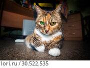 Купить «Portrait of an american shorthair cat.», фото № 30522535, снято 12 октября 2018 г. (c) Акиньшин Владимир / Фотобанк Лори