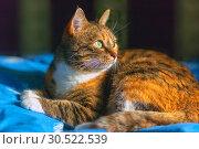 Купить «Portrait of an american shorthair cat.», фото № 30522539, снято 12 октября 2018 г. (c) Акиньшин Владимир / Фотобанк Лори