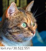 Купить «Portrait of an american shorthair cat.», фото № 30522551, снято 14 октября 2018 г. (c) Акиньшин Владимир / Фотобанк Лори