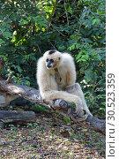 Купить «Белощёкий хохлатый гиббон (лат. Nomascus leucogenys). Самка обезьяны сидит на дереве», фото № 30523359, снято 21 марта 2019 г. (c) Григорий Писоцкий / Фотобанк Лори