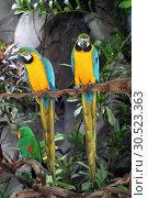 Купить «Ara ararauna. Два желто-голубых попугая на ветке», фото № 30523363, снято 21 марта 2019 г. (c) Григорий Писоцкий / Фотобанк Лори