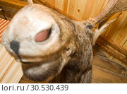 Купить «Elk. Stuffed animal», фото № 30530439, снято 22 апреля 2010 г. (c) Tryapitsyn Sergiy / Фотобанк Лори