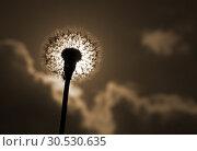 Silhouette of dandelion. Стоковое фото, фотограф Tryapitsyn Sergiy / Фотобанк Лори