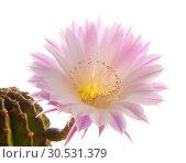 Купить «Cactus flower», фото № 30531379, снято 2 июля 2010 г. (c) Tryapitsyn Sergiy / Фотобанк Лори