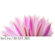 Купить «Cactus flower», фото № 30531383, снято 2 июля 2010 г. (c) Tryapitsyn Sergiy / Фотобанк Лори