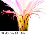 Купить «Cactus flower», фото № 30531387, снято 2 июля 2010 г. (c) Tryapitsyn Sergiy / Фотобанк Лори