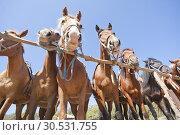 Купить «Brown horses on ranch», фото № 30531755, снято 11 сентября 2010 г. (c) Tryapitsyn Sergiy / Фотобанк Лори