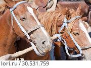 Купить «Brown horses on ranch», фото № 30531759, снято 11 сентября 2010 г. (c) Tryapitsyn Sergiy / Фотобанк Лори