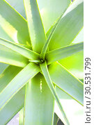 Купить «Aloe Vera», фото № 30531799, снято 10 сентября 2010 г. (c) Tryapitsyn Sergiy / Фотобанк Лори