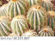 Купить «Green cactuses», фото № 30531807, снято 10 сентября 2010 г. (c) Tryapitsyn Sergiy / Фотобанк Лори