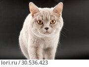 Купить «Walking little tabby kitten», фото № 30536423, снято 20 февраля 2011 г. (c) Tryapitsyn Sergiy / Фотобанк Лори