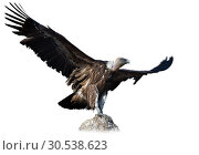 Купить «Big Griffon on stone on white background», фото № 30538623, снято 16 июня 2019 г. (c) Яков Филимонов / Фотобанк Лори