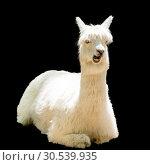 Купить «Funny alpaca», фото № 30539935, снято 4 мая 2013 г. (c) Tryapitsyn Sergiy / Фотобанк Лори