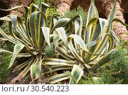 Купить «Aloe bushes», фото № 30540223, снято 4 июля 2013 г. (c) Tryapitsyn Sergiy / Фотобанк Лори