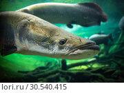 Купить «Giant fishes underwater», фото № 30540415, снято 6 июля 2013 г. (c) Tryapitsyn Sergiy / Фотобанк Лори