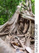 Купить «Tropical tree roots», фото № 30547459, снято 16 декабря 2013 г. (c) Tryapitsyn Sergiy / Фотобанк Лори