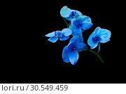 Купить «Blooming blue orchid on a black background», фото № 30549459, снято 19 мая 2014 г. (c) Ласточкин Евгений / Фотобанк Лори
