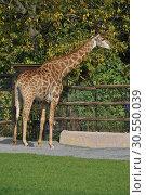 Купить «Сетчатый жираф в Московском зоопарке», эксклюзивное фото № 30550039, снято 26 сентября 2014 г. (c) lana1501 / Фотобанк Лори