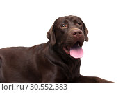 Купить «Labrador portrait on a white background», фото № 30552383, снято 14 ноября 2015 г. (c) Ласточкин Евгений / Фотобанк Лори