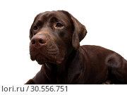 Купить «Portrait of a Labrador Retriever on a white background», фото № 30556751, снято 14 ноября 2015 г. (c) Ласточкин Евгений / Фотобанк Лори