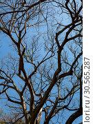 Купить «Dry tree, bottom view, Sri Lanka», фото № 30565287, снято 22 февраля 2017 г. (c) Tryapitsyn Sergiy / Фотобанк Лори