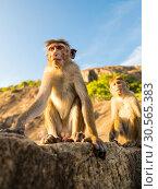 Купить «Monkeys on Sri Lanka, food thieves on Ceylon», фото № 30565383, снято 23 февраля 2017 г. (c) Tryapitsyn Sergiy / Фотобанк Лори