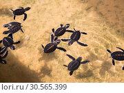 Купить «Newborn turtles in water, seaturtles Sri Lanka», фото № 30565399, снято 25 февраля 2017 г. (c) Tryapitsyn Sergiy / Фотобанк Лори