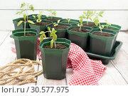 Купить «Рассада помидоров в зеленых пластиковых горшочках. Выращивание томатов», фото № 30577975, снято 14 апреля 2019 г. (c) Наталья Осипова / Фотобанк Лори