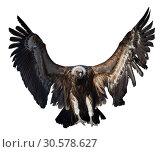 Griffon vulture flying isolated. Стоковое фото, фотограф Яков Филимонов / Фотобанк Лори
