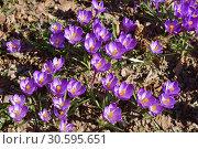First spring flowers. Crocus vernus (Spring Crocus, Giant Crocus) Стоковое фото, фотограф Валерия Попова / Фотобанк Лори