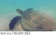 Купить «Sea turtle quickly swims over the sandy bottom in shallow water. Hawksbill Sea Turtle or Bissa - Eretmochelys imbricata, Indian Ocean, Hikkaduwa, Sri Lanka», видеоролик № 30601563, снято 10 апреля 2019 г. (c) Некрасов Андрей / Фотобанк Лори