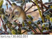 Купить «Cute mouse among the branches of flowering willow», фото № 30602051, снято 14 апреля 2019 г. (c) Евгений Харитонов / Фотобанк Лори