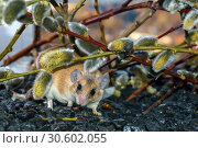 Cute spiny mouse (akomys) sneaks under the branches of a blossoming willow. Стоковое фото, фотограф Евгений Харитонов / Фотобанк Лори