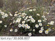 Купить «Wild plant Blackfoot Daisy, Rock Daisy, Plains Blackfoot,  Arnica», фото № 30608807, снято 10 марта 2019 г. (c) Ирина Кожемякина / Фотобанк Лори
