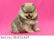 Купить «Small and shaggy Pomeranian puppy», фото № 30612627, снято 10 апреля 2019 г. (c) Okssi / Фотобанк Лори