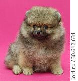 Купить «Small and shaggy Pomeranian puppy», фото № 30612631, снято 10 апреля 2019 г. (c) Okssi / Фотобанк Лори