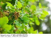 Купить «Close up of green oak foliage», фото № 30619023, снято 22 августа 2019 г. (c) Яков Филимонов / Фотобанк Лори