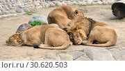 Sweet Dreams. Family of Asiatic lions (Panthera Leo Persica) is resting. Стоковое фото, фотограф Валерия Попова / Фотобанк Лори