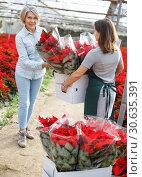 Купить «Woman shopping for poinsettia in glasshouse», фото № 30635391, снято 22 ноября 2018 г. (c) Яков Филимонов / Фотобанк Лори