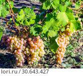 Купить «Крупные гроздья созревшего белого винограда, освещенные ярким солнцем», фото № 30643427, снято 18 сентября 2014 г. (c) Устенко Владимир Александрович / Фотобанк Лори