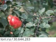 Купить «Apple tree with apples», фото № 30644283, снято 16 сентября 2018 г. (c) Jan Jack Russo Media / Фотобанк Лори