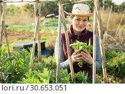 Купить «Woman harvesting broad beans», фото № 30653051, снято 21 февраля 2019 г. (c) Яков Филимонов / Фотобанк Лори