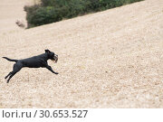Купить «A black labrador retrieving a partridge», фото № 30653527, снято 5 августа 2020 г. (c) Ingram Publishing / Фотобанк Лори