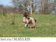 Купить «Working liver and white springer spaniel in the field», фото № 30653835, снято 5 апреля 2020 г. (c) Ingram Publishing / Фотобанк Лори