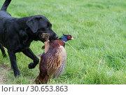Купить «Black labrador retrieving a wounded pheasant», фото № 30653863, снято 10 июля 2020 г. (c) Ingram Publishing / Фотобанк Лори