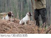 Купить «Portrait of a working liver and white springer spaniel on a game shoot», фото № 30653935, снято 4 апреля 2020 г. (c) Ingram Publishing / Фотобанк Лори
