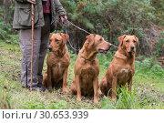 Купить «A woman with her three working gundogs; fox red labradors», фото № 30653939, снято 5 июня 2020 г. (c) Ingram Publishing / Фотобанк Лори