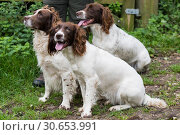 A trio of liver and white springer spaniels. Стоковое фото, агентство Ingram Publishing / Фотобанк Лори